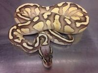 Lesser firefly royal python snake female CB2016