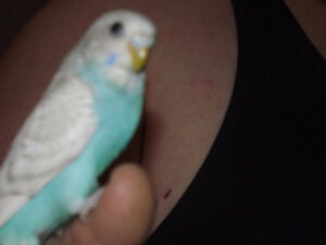 Hand fed baby budgies and adult budgies