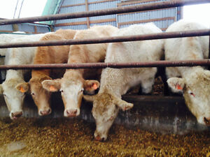 Cattle - Bred Heifers Charolais and Char X