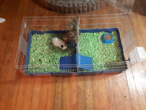 2 Guinea Pigs with cage and extras!