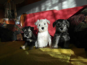 SCHNOODLE PUPPIES READY FOR LOVING , PERMANENT HOME