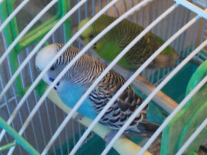 budgies for sale or trade for male canary