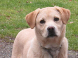 5 mth male yellow lab looking for his forever family home