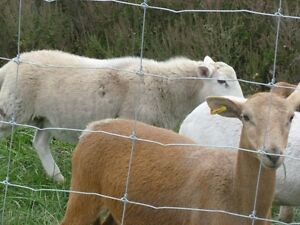 katahdin and mixed lambs for sale