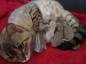 Gorgeous pure bred Snow Bengal kittens for sale !