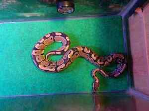 Sweet ball python ( rehoming )