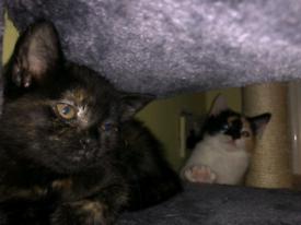 4x 8 week old Kittens