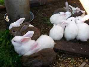 Five week old rabbits, good meat breed