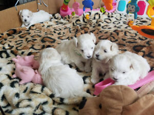 Maltese Frise (Maltichon) puppies