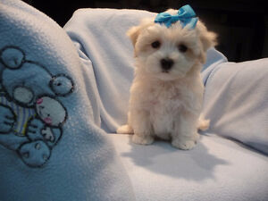 1-Males Maltee Poo for Sale