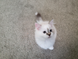Beautiful Female Ragdoll Kitten with very unique markings.