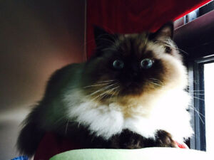 LOST HIMALAYAN CAT...PLEASE HELP LOOK FOR HIM