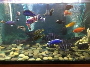 GROUP OF VERY FANCY COLORS AFRICAN CICHLIDS SHOW QUALITY MALES