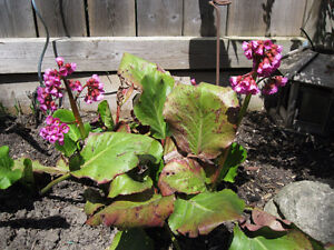 ***Beautiful Bergenia -- $3 per pot***
