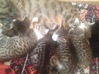 Five Bengal X kittens for sale £200 each.