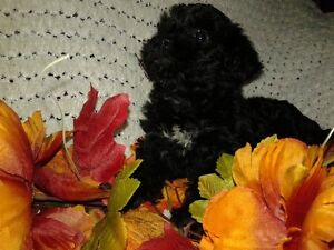 Black yorkiepoo puppies  Male is adopted 2 left
