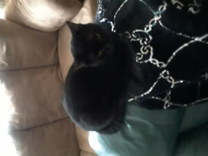 2 male brother  indoor cats Free