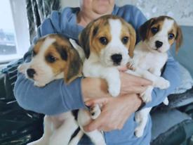 💙💙2 Beautiful chunky Pedigree Beagle Puppies for sale💙💙