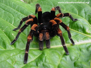 Looking to buy Tarantula