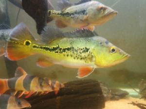 Peacock bass green texas red bay snook | Fish | Gumtree