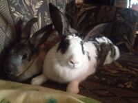 Flemish Giant rabbit sisters need a home ASAP