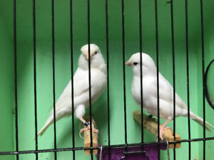 White canaries for sale