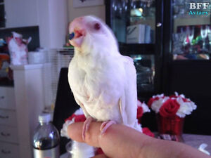 Accepting Deposit for Banded Baby Albino Cockatiel