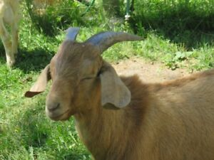 Goat Buckling For Sale