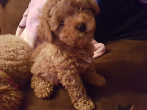 Looking for a male toy poodle.