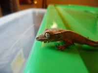 Beautiful Crested Gecko Hatchlings