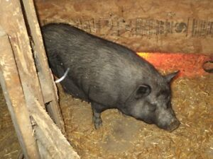 Baby pot belly pigs born Oct 6 1 girl and 3 boys but 1 is tiny