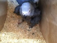 African greys bonded pair