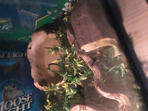 Central American Boa Colour Morph and Complete Set Up
