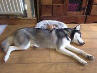 Siberian husky x malamute girl 4 years old