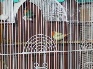 NICE PAIR OR RARE PIE MUTATION SEA GREEN PARROT FINCH  .