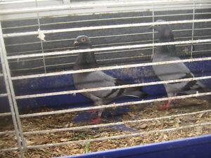 Homing Pigeons pairs