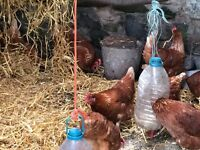 Laying chickens for sale