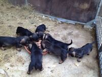 Teckel puppies