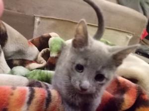 Purebred Russian Blue kittens