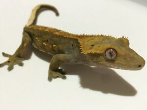 Fancy crested gecko