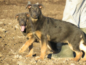 purebred blue German Shepherd Puppies