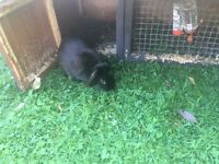 Female black rabbit
