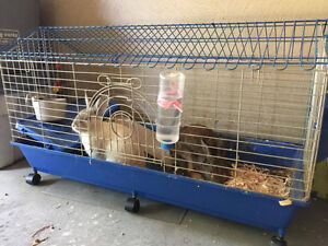 2 male rabbits for free _ pending for pick up