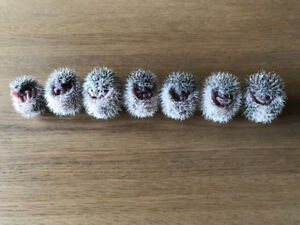 Adorable & very tame baby Pygmy Hedgehogs! Long weekend special!