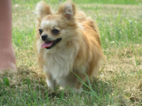 CKC reg. champion line chihuahua male Watch|Share |Print|Report