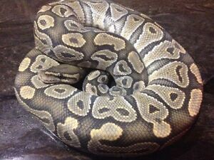 Special ghost ball python
