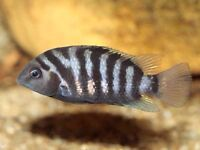 Wanted: Convict Cichlids, or other easy breeder!