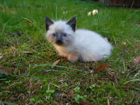 Beautiful Siamese Colored and Tabby Kittens- Ready To Go