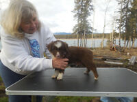 Registered Australian Shepherd Puppies