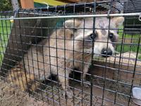 GTA #1 GUARANTEED Bird Raccoon Squirrel Wildlife Removal/Control